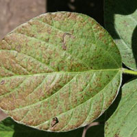 Soybean Research & Information Initiative - Cercospora Leaf Blight