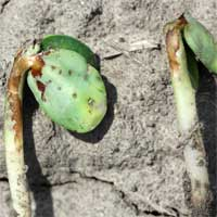 herbicide damage to seed